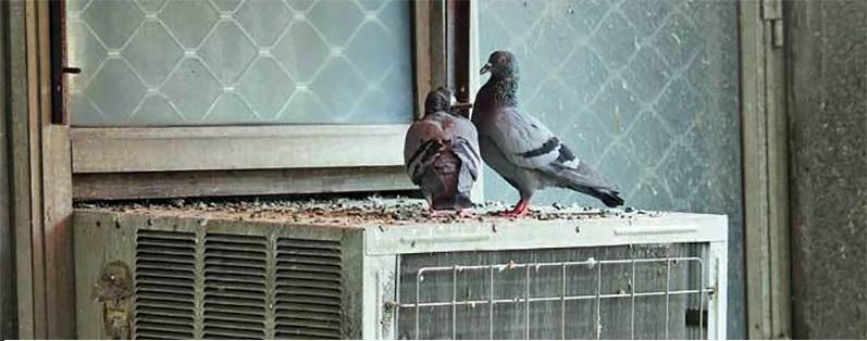 benzi cu tepi anti porumbei (1)